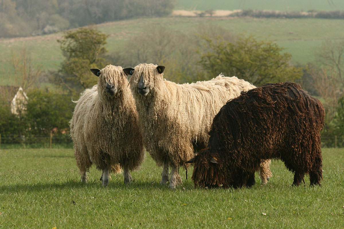 Two white and a black Wensleydale